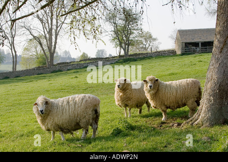 Sheep Chedworth Gloucestershire The Cotswolds United Kingdom - Stock Photo