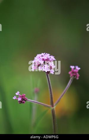 Verbena Boniarensis in a London garden England United Kingdom - Stock Photo