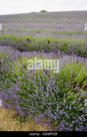 Snowshill lavender field Worcestershire United Kingdom The Cotswolds - Stock Photo