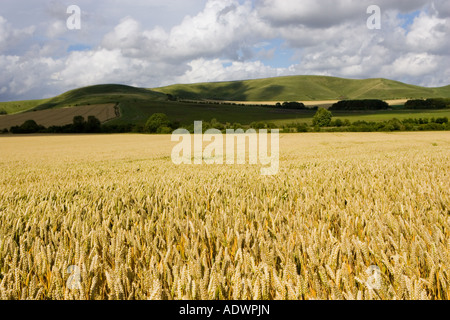 Wheat field in Marlborough Downs Wiltshire England United Kingdom - Stock Photo
