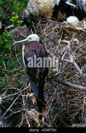 Juvenile Frigatebird Galapagos Islands Ecuador - Stock Photo