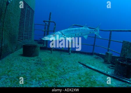 great barracuda on Russian Destroyer Wreck Sphyraena barracuda Caribbean Sea Cayman Islands - Stock Photo
