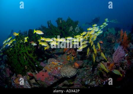 Coral Reer with Snapper Lutjanus kasmira Bangka Island North Sulawesi Celebes Indonesia - Stock Photo