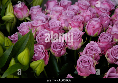 Flower display in London England Purple roses - Stock Photo