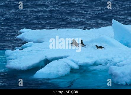 Adelie Penguin, Adelie Penguins, penguin, penguins, Pygoscelis adeliae, flightless bird, ice floe, northeast of - Stock Photo