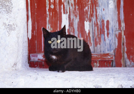 domestic cat (Felis silvestris f. catus), sitting in front of red door, Greece, Santorin. - Stock Photo