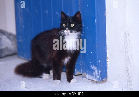 domestic cat (Felis silvestris f. catus), sitting in front of blue door, Greece, Santorin. - Stock Photo