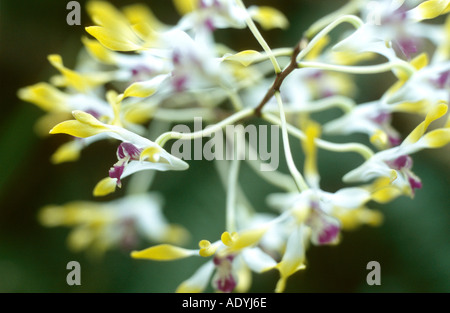 antelope orchid (Dendrobium canaliculatum), blooming - Stock Photo