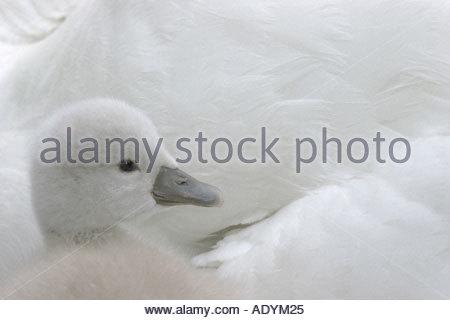mute swan (Cygnus olor), cygnet amongst mother's plumage, Germany, Schleswig-Holstein. - Stock Photo