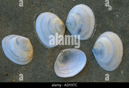 Peppery Furrow Shell Nationalpark Wattenmeer North Sea Nordsee Schleswig Holstein Germany - Stock Photo
