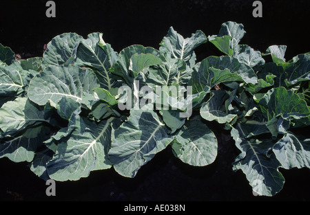 cauliflower (Brassica oleracea var. botrytis), young cauliflower plants, USA, California, Salinas valley - Stock Photo