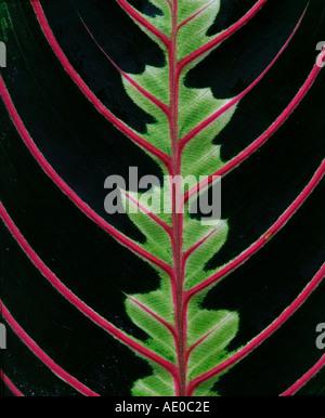 Maranta leaf detail Calathea spec - Stock Photo
