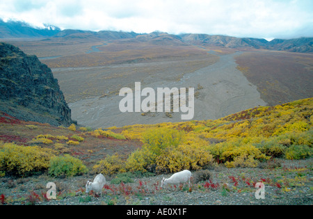 Dall's sheep, white sheep (Ovis dalli), mother with one young, eating, at polychrome Pass, wide angle, tundra in - Stock Photo