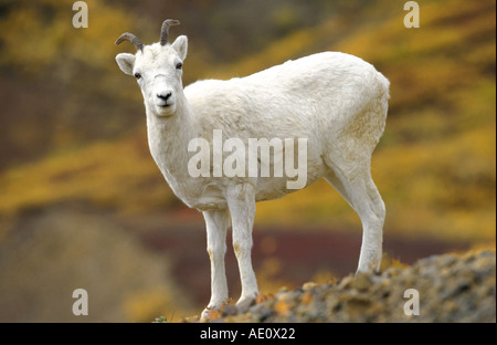Dall's sheep, white sheep (Ovis dalli), single female, standing on rock, tundra in fall colours, at polychrome Pass, - Stock Photo