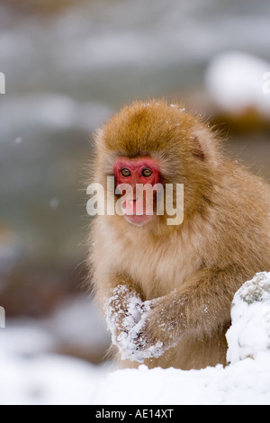 Japanese macaque Macaca fuscata Snow monkey young macaque in the snow Joshin etsu National Park Honshu Japan - Stock Photo