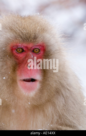 Japanese macaque Macaca fuscata Snow monkey Joshin etsu National Park Honshu Japan - Stock Photo
