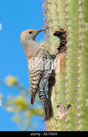 Gilded Flicker Colaptes auratus Tucson Pima Co ARIZONA USA 29 April Adult Female Picidae - Stock Photo
