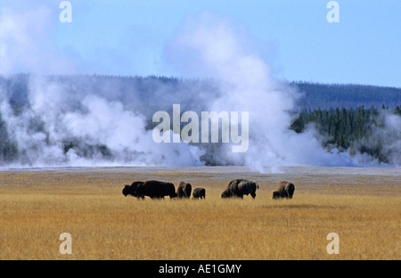 Bison Bison bison buffalo Small group of Bison grazing on the plains against a backdrop of geysers and volcanic - Stock Photo
