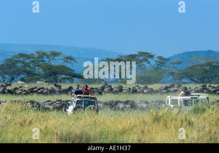 blue wildebeest, brindled gnu, white-bearded wildebeest (Connochaetes taurinus), migrating herd, watching by safari - Stock Photo