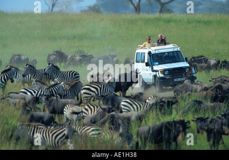 blue wildebeest, brindled gnu, white-bearded wildebeest (Connochaetes taurinus), migrating herd with zebras, watching - Stock Photo