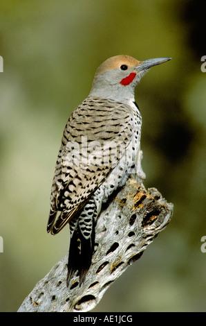 Gilded Flicker Colaptes auratus Tucson Pima Co ARIZONA United States January Adult Male Picidae - Stock Photo