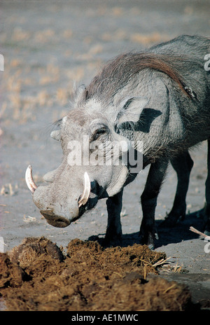 Close up of male Warthog rooting amongst elephant droppings Chobe National Park Botswana southern Africa - Stock Photo