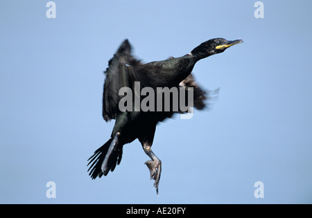 European Shag Phalacrocorax aristotelis adult in flight Hornoya Nature Reserve Vardo Norway June 2001 - Stock Photo