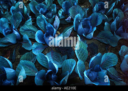 field of cabbage - Stock Photo
