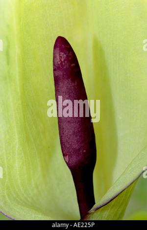 Arum maculatum close-up - Stock Photo