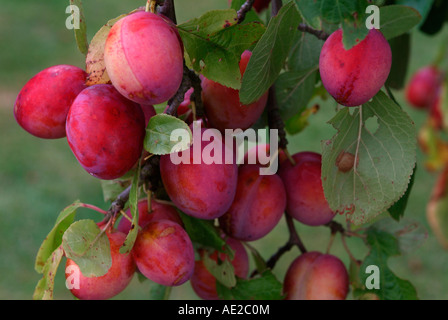 Ripe Victoria plums hanging on a tree - Stock Photo