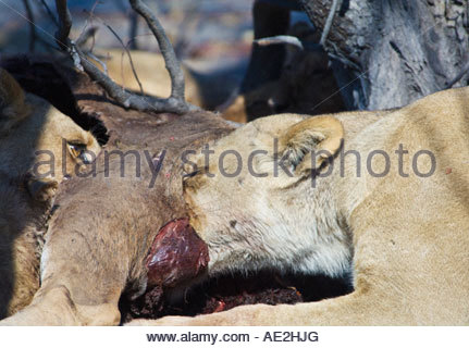 Two lions feeding on a carcass. Moremi, Botswana - Stock Photo