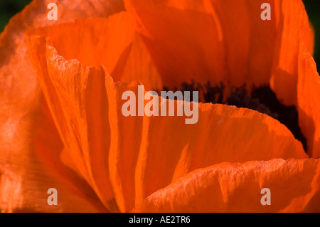 Papaver orientalis Flame red orange Oriental Poppy - Stock Photo