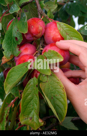 Picking ripe Victoria plums from a tree - Stock Photo