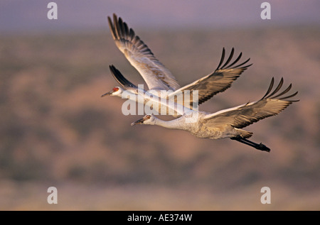 Sandhill Crane Grus canadensis adult and young in flight Bosque del Apache National Wildlife Refuge New Mexico USA - Stock Photo