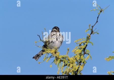 Savannah Sparrow Passerculus sandwichensis adult Welder Wildlife Refuge Sinton Texas USA May 2005 - Stock Photo