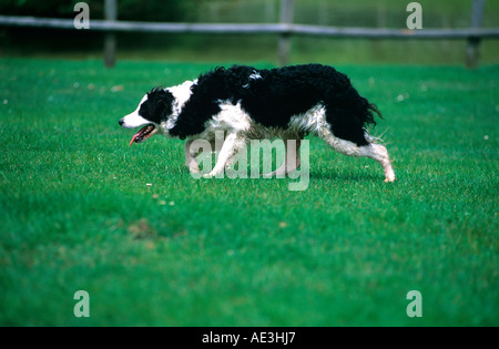 Border collie/sheepdog in pursuit of flock of sheep whilst working, isle of wight, england, uk - Stock Photo