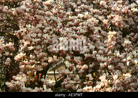 Tulpen-Magnolie - Magnolia × soulangeana - Stock Photo