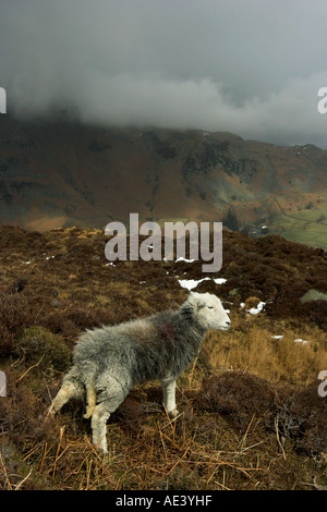 vertical photo of herdwick sheep on hillside in the english lake district - Stock Photo