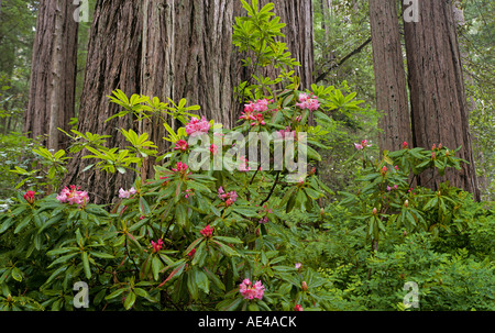 Rhododendrons and giant redwood trees in the Prairie Creek Section of Redwood National Park near Crescent City California