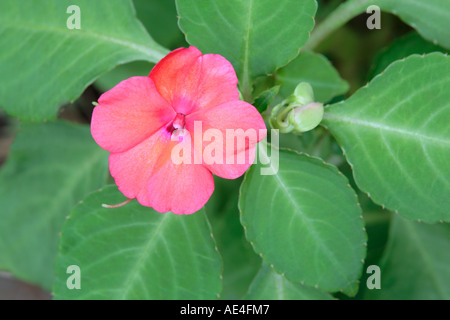 Busy Lizzie Impatiens Balsaminae wallerana Sultanii pink flower and leaves detail - Stock Photo