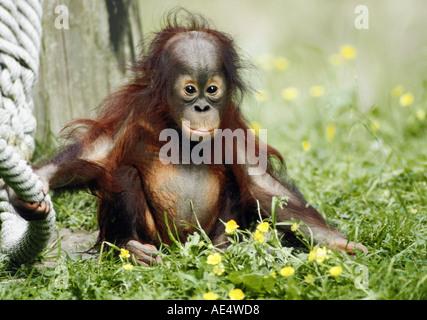 young Sumatran Orang-utan on meadow with rope / Pongo pygmaeus abeli - Stock Photo