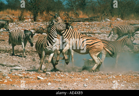 two Burchell's zebras - fighting / Equus burchelli - Stock Photo