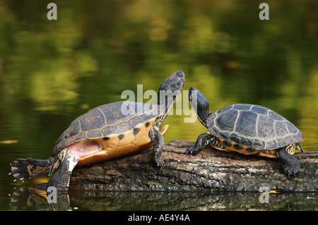 two red-eared turtles on tree trunk / Trachemys scripta elegans - Stock Photo