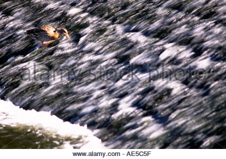 Life on a river medway weir United Kingdom - Stock Photo