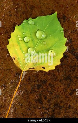 Wet Bigtooth or Canadian Aspen Leaf on stone Populus grandidentata - Stock Photo