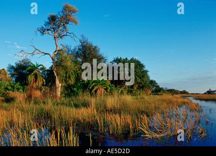 Reeds growing in the Okavango Delta in Botswana Africa - Stock Photo