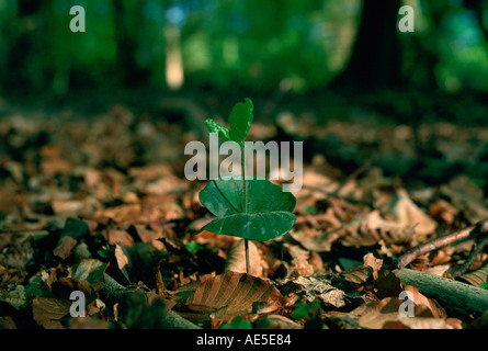Young beech tree seedling sprouting among dead leaves in the New Forest in Hampshire England - Stock Photo
