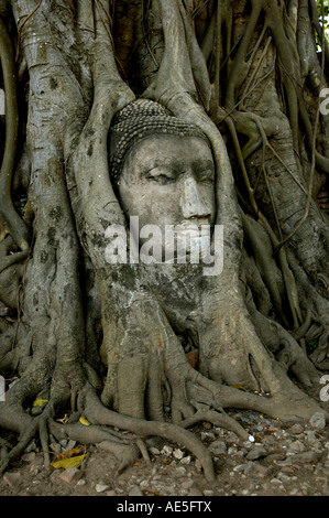 Buddha image in the tree at Wat Mahathat Authaya Thailand The serene stone head Buddha has become nestled in roots - Stock Photo
