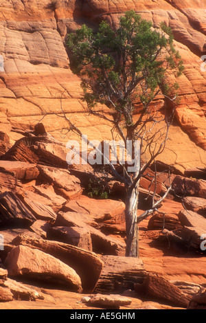 Hardy pine tree growing out of plateau of striated red rock Grand Staircase Escalante National Monument Utah American - Stock Photo