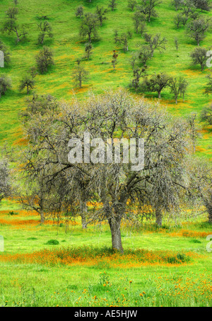 Bare live oak trees in winter scattered on a lush green hill with orange California poppies Tehachapi Valley California - Stock Photo